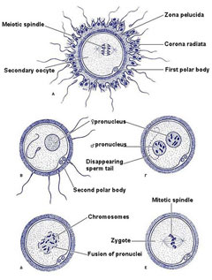 Schematic representation of fertilization.